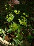 """Mandel-Wolfsmilch - Euphorbia amygdaloides; Bildquelle: <a href=""""https://www.pflanzen-deutschland.de/quellen.php?bild_quelle=Wikipedia User Bilou"""">Wikipedia User Bilou</a>; Bildlizenz: <a href=""""https://creativecommons.org/licenses/by-sa/3.0/deed.de"""" target=_blank title=""""Namensnennung - Weitergabe unter gleichen Bedingungen 3.0 Unported (CC BY-SA 3.0)"""">CC BY-SA 3.0</a>;"""
