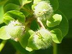 """Süße Wolfsmilch - Euphorbia dulcis; Bildquelle: <a href=""""https://www.pflanzen-deutschland.de/quellen.php?bild_quelle=Wikipedia User Topjabot"""">Wikipedia User Topjabot</a>; Bildlizenz: <a href=""""https://creativecommons.org/licenses/by-sa/3.0/deed.de"""" target=_blank title=""""Namensnennung - Weitergabe unter gleichen Bedingungen 3.0 Unported (CC BY-SA 3.0)"""">CC BY-SA 3.0</a>;"""