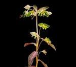 """Süße Wolfsmilch - Euphorbia dulcis; Bildquelle: <a href=""""https://www.pflanzen-deutschland.de/quellen.php?bild_quelle=Wikipedia User Ies"""">Wikipedia User Ies</a>; Bildlizenz: <a href=""""https://creativecommons.org/licenses/by-sa/3.0/deed.de"""" target=_blank title=""""Namensnennung - Weitergabe unter gleichen Bedingungen 3.0 Unported (CC BY-SA 3.0)"""">CC BY-SA 3.0</a>;"""
