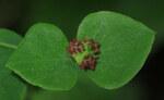 """Süße Wolfsmilch - Euphorbia dulcis; Bildquelle: <a href=""""https://www.pflanzen-deutschland.de/quellen.php?bild_quelle=Wikipedia User Robert Flogaus-Faust"""">Wikipedia User Robert Flogaus-Faust</a>; Bildlizenz: <a href=""""https://creativecommons.org/licenses/by/4.0/deed.de"""" target=_blank title=""""Namensnennung 4.0 International (CC BY 4.0)"""">CC BY 4.0</a>; <br>Wiki Commons Bildbeschreibung: <a href=""""https://commons.wikimedia.org/wiki/File:Euphorbia_dulcis_RF.jpg"""" target=_blank title=""""https://commons.wikimedia.org/wiki/File:Euphorbia_dulcis_RF.jpg"""">https://commons.wikimedia.org/wiki/File:Euphorbia_dulcis_RF.jpg</a>"""