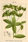 "Süße Wolfsmilch - Euphorbia dulcis; Bildquelle: <a href=""https://www.pflanzen-deutschland.de/quellen.php?bild_quelle=Deutschlands Flora in Abbildungen 1796"">Deutschlands Flora in Abbildungen 1796</a>; Bildlizenz: <a href=""https://creativecommons.org/licenses/publicdomain/deed.de"" target=_blank title=""Public Domain"">Public Domain</a>;"