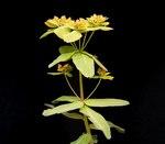 """Vielfarbige Wolfsmilch - Euphorbia epithymoides; Bildquelle: <a href=""""https://www.pflanzen-deutschland.de/quellen.php?bild_quelle=Wikipedia User Ies"""">Wikipedia User Ies</a>; Bildlizenz: <a href=""""https://creativecommons.org/licenses/by-sa/3.0/deed.de"""" target=_blank title=""""Namensnennung - Weitergabe unter gleichen Bedingungen 3.0 Unported (CC BY-SA 3.0)"""">CC BY-SA 3.0</a>;"""