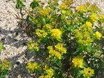 """Vielfarbige Wolfsmilch - Euphorbia epithymoides; Bildquelle: <a href=""""https://www.pflanzen-deutschland.de/quellen.php?bild_quelle=Wikipedia User Meneerke bloem"""">Wikipedia User Meneerke bloem</a>; Bildlizenz: <a href=""""https://creativecommons.org/licenses/by-sa/3.0/deed.de"""" target=_blank title=""""Namensnennung - Weitergabe unter gleichen Bedingungen 3.0 Unported (CC BY-SA 3.0)"""">CC BY-SA 3.0</a>;"""