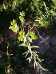 """Esels-Wolfsmilch - Euphorbia esula; Bildquelle: <a href=""""https://www.pflanzen-deutschland.de/quellen.php?bild_quelle=Wikipedia User Josve05a"""">Wikipedia User Josve05a</a>; Bildlizenz: <a href=""""https://creativecommons.org/licenses/by-sa/2.0/deed.de"""" target=_blank title=""""Namensnennung - Weitergabe unter gleichen Bedingungen 2.0 Unported (CC BY-SA 2.0)"""">CC BY 2.0</a>; <br>Wiki Commons Bildbeschreibung: <a href=""""https://commons.wikimedia.org/wiki/File:Euphorbia_esula_(16644750595).jpg"""" target=_blank title=""""https://commons.wikimedia.org/wiki/File:Euphorbia_esula_(16644750595).jpg"""">https://commons.wikimedia.org/wiki/File:Euphorbia_esula_(16644750595).jpg</a>"""