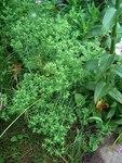 """Kleine Wolfsmilch - Euphorbia exigua; Bildquelle: <a href=""""https://www.pflanzen-deutschland.de/quellen.php?bild_quelle=Wikipedia User Überraschungsbilder"""">Wikipedia User Überraschungsbilder</a>; Bildlizenz: <a href=""""https://creativecommons.org/licenses/by-sa/3.0/deed.de"""" target=_blank title=""""Namensnennung - Weitergabe unter gleichen Bedingungen 3.0 Unported (CC BY-SA 3.0)"""">CC BY-SA 3.0</a>;"""