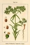 """Kleine Wolfsmilch - Euphorbia exigua; Bildquelle: <a href=""""https://www.pflanzen-deutschland.de/quellen.php?bild_quelle=Deutschlands Flora in Abbildungen 1796"""">Deutschlands Flora in Abbildungen 1796</a>; Bildlizenz: <a href=""""https://creativecommons.org/licenses/publicdomain/deed.de"""" target=_blank title=""""Public Domain"""">Public Domain</a>;"""