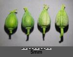 "Sichel-Wolfsmilch - Euphorbia falcata; Bildquelle: <a href=""https://www.pflanzen-deutschland.de/quellen.php?bild_quelle=Wikipedia User Stefan.lefnaer"">Wikipedia User Stefan.lefnaer</a>; Bildlizenz: <a href=""https://creativecommons.org/licenses/by/4.0/deed.de"" target=_blank title=""Namensnennung 4.0 International (CC BY 4.0)"">CC BY 4.0</a>; <br>Wiki Commons Bildbeschreibung: <a href=""https://commons.wikimedia.org/wiki/File:Euphorbia_falcata_(s._str.)_sl23.jpg"" target=_blank title=""https://commons.wikimedia.org/wiki/File:Euphorbia_falcata_(s._str.)_sl23.jpg"">https://commons.wikimedia.org/wiki/File:Euphorbia_falcata_(s._str.)_sl23.jpg</a>"