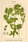 "Sichel-Wolfsmilch - Euphorbia falcata; Bildquelle: <a href=""https://www.pflanzen-deutschland.de/quellen.php?bild_quelle=Deutschlands Flora in Abbildungen 1796"">Deutschlands Flora in Abbildungen 1796</a>; Bildlizenz: <a href=""https://creativecommons.org/licenses/publicdomain/deed.de"" target=_blank title=""Public Domain"">Public Domain</a>;"
