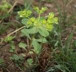 """Sonnenwend-Wolfsmilch - Euphorbia helioscopia; Bildquelle: <a href=""""https://www.pflanzen-deutschland.de/quellen.php?bild_quelle=Wikipedia User Danny S."""">Wikipedia User Danny S.</a>; Bildlizenz: <a href=""""https://creativecommons.org/licenses/by/4.0/deed.de"""" target=_blank title=""""Namensnennung 4.0 International (CC BY 4.0)"""">CC BY 4.0</a>; <br>Wiki Commons Bildbeschreibung: <a href=""""https://commons.wikimedia.org/wiki/File:Euphorbia_helioscopia-2.jpg"""" target=_blank title=""""https://commons.wikimedia.org/wiki/File:Euphorbia_helioscopia-2.jpg"""">https://commons.wikimedia.org/wiki/File:Euphorbia_helioscopia-2.jpg</a>"""