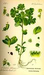 """Sonnenwend-Wolfsmilch - Euphorbia helioscopia; Bildquelle: <a href=""""https://www.pflanzen-deutschland.de/quellen.php?bild_quelle=Prof. Dr. Otto Wilhelm Thome Flora von Deutschland, Österreich und der Schweiz 1885, Gera, Germany"""">Prof. Dr. Otto Wilhelm Thome Flora von Deutschland, Österreich und der Schweiz 1885, Gera, Germany</a>; Bildlizenz: <a href=""""https://creativecommons.org/licenses/publicdomain/deed.de"""" target=_blank title=""""Public Domain"""">Public Domain</a>;"""