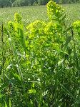 """Glänzende Wolfsmilch - Euphorbia lucida; Bildquelle: <a href=""""https://www.pflanzen-deutschland.de/quellen.php?bild_quelle=Wikipedia User Don Pedro28"""">Wikipedia User Don Pedro28</a>; Bildlizenz: <a href=""""https://creativecommons.org/licenses/by-sa/3.0/deed.de"""" target=_blank title=""""Namensnennung - Weitergabe unter gleichen Bedingungen 3.0 Unported (CC BY-SA 3.0)"""">CC BY-SA 3.0</a>;"""