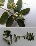"""Gefleckte Wolfsmilch - Euphorbia maculata; Bildquelle: <a href=""""https://www.pflanzen-deutschland.de/quellen.php?bild_quelle=Wikipedia User Eitan f"""">Wikipedia User Eitan f</a>; Bildlizenz: <a href=""""https://creativecommons.org/licenses/by-sa/3.0/deed.de"""" target=_blank title=""""Namensnennung - Weitergabe unter gleichen Bedingungen 3.0 Unported (CC BY-SA 3.0)"""">CC BY-SA 3.0</a>;"""