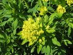 """Sumpf-Wolfsmilch - Euphorbia palustris; Bildquelle: <a href=""""https://www.pflanzen-deutschland.de/quellen.php?bild_quelle=Wikipedia User Pethan"""">Wikipedia User Pethan</a>; Bildlizenz: <a href=""""https://creativecommons.org/licenses/by-sa/3.0/deed.de"""" target=_blank title=""""Namensnennung - Weitergabe unter gleichen Bedingungen 3.0 Unported (CC BY-SA 3.0)"""">CC BY-SA 3.0</a>;"""