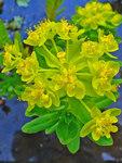 """Sumpf-Wolfsmilch - Euphorbia palustris; Bildquelle: <a href=""""https://www.pflanzen-deutschland.de/quellen.php?bild_quelle=Wikipedia User Llez"""">Wikipedia User Llez</a>; Bildlizenz: <a href=""""https://creativecommons.org/licenses/by-sa/3.0/deed.de"""" target=_blank title=""""Namensnennung - Weitergabe unter gleichen Bedingungen 3.0 Unported (CC BY-SA 3.0)"""">CC BY-SA 3.0</a>;"""