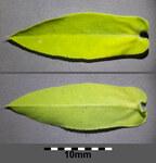"""Breitblättrige Wolfsmilch - Euphorbia platyphyllos; Bildquelle: <a href=""""https://www.pflanzen-deutschland.de/quellen.php?bild_quelle=Wikipedia User Stefan.lefnaer"""">Wikipedia User Stefan.lefnaer</a>; Bildlizenz: <a href=""""https://creativecommons.org/licenses/by/4.0/deed.de"""" target=_blank title=""""Namensnennung 4.0 International (CC BY 4.0)"""">CC BY 4.0</a>; <br>Wiki Commons Bildbeschreibung: <a href=""""https://commons.wikimedia.org/wiki/File:Euphorbia_platyphyllos_sl13.jpg"""" target=_blank title=""""https://commons.wikimedia.org/wiki/File:Euphorbia_platyphyllos_sl13.jpg"""">https://commons.wikimedia.org/wiki/File:Euphorbia_platyphyllos_sl13.jpg</a>"""