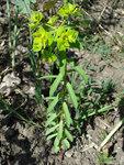 """Breitblättrige Wolfsmilch - Euphorbia platyphyllos; Bildquelle: <a href=""""https://www.pflanzen-deutschland.de/quellen.php?bild_quelle=Wikipedia User Fornax"""">Wikipedia User Fornax</a>; Bildlizenz: <a href=""""https://creativecommons.org/licenses/by-sa/3.0/deed.de"""" target=_blank title=""""Namensnennung - Weitergabe unter gleichen Bedingungen 3.0 Unported (CC BY-SA 3.0)"""">CC BY-SA 3.0</a>;"""