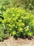 """Weidenblättrige Wolfsmilch - Euphorbia salicifolia; Bildquelle: <a href=""""https://www.pflanzen-deutschland.de/quellen.php?bild_quelle=Wikipedia User Athenchen"""">Wikipedia User Athenchen</a>; Bildlizenz: <a href=""""https://creativecommons.org/licenses/by-sa/3.0/deed.de"""" target=_blank title=""""Namensnennung - Weitergabe unter gleichen Bedingungen 3.0 Unported (CC BY-SA 3.0)"""">CC BY-SA 3.0</a>;"""