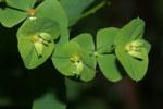 "Steife Wolfsmilch - Euphorbia stricta; Bildquelle: <a href=""https://www.pflanzen-deutschland.de/quellen.php?bild_quelle=Wikipedia User HermannSchachner"">Wikipedia User HermannSchachner</a>; Bildlizenz: <a href=""https://creativecommons.org/licenses/publicdomain/deed.de"" target=_blank title=""Public Domain"">Public Domain</a>;"