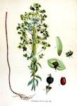"""Steife Wolfsmilch - Euphorbia stricta; Bildquelle: <a href=""""https://www.pflanzen-deutschland.de/quellen.php?bild_quelle=Wikipedia User Rasbak"""">Wikipedia User Rasbak</a>; Bildlizenz: <a href=""""https://creativecommons.org/licenses/publicdomain/deed.de"""" target=_blank title=""""Public Domain"""">Public Domain</a>;"""