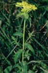 """Warzen-Wolfsmilch - Euphorbia verrucosa; Bildquelle: <a href=""""https://www.pflanzen-deutschland.de/quellen.php?bild_quelle=Wikipedia User Fornax"""">Wikipedia User Fornax</a>; Bildlizenz: <a href=""""https://creativecommons.org/licenses/by-sa/3.0/deed.de"""" target=_blank title=""""Namensnennung - Weitergabe unter gleichen Bedingungen 3.0 Unported (CC BY-SA 3.0)"""">CC BY-SA 3.0</a>; <br>Wiki Commons Bildbeschreibung: <a href=""""https://commons.wikimedia.org/wiki/File:Euphorbia_verrucosa_W.jpg"""" target=_blank title=""""https://commons.wikimedia.org/wiki/File:Euphorbia_verrucosa_W.jpg"""">https://commons.wikimedia.org/wiki/File:Euphorbia_verrucosa_W.jpg</a>"""