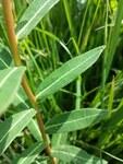 "Zottige Wolfsmilch - Euphorbia villosa; Bildquelle: <a href=""https://www.pflanzen-deutschland.de/quellen.php?bild_quelle=Wikipedia User Stefan.lefnaer"">Wikipedia User Stefan.lefnaer</a>; Bildlizenz: <a href=""https://creativecommons.org/licenses/by/4.0/deed.de"" target=_blank title=""Namensnennung 4.0 International (CC BY 4.0)"">CC BY 4.0</a>; <br>Wiki Commons Bildbeschreibung: <a href=""https://commons.wikimedia.org/wiki/File:Euphorbia_villosa_(s._str.)_sl14.jpg"" target=_blank title=""https://commons.wikimedia.org/wiki/File:Euphorbia_villosa_(s._str.)_sl14.jpg"">https://commons.wikimedia.org/wiki/File:Euphorbia_villosa_(s._str.)_sl14.jpg</a>"