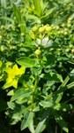 """Zottige Wolfsmilch - Euphorbia villosa; Bildquelle: <a href=""""https://www.pflanzen-deutschland.de/quellen.php?bild_quelle=Wikipedia User Stefan.lefnaer"""">Wikipedia User Stefan.lefnaer</a>; Bildlizenz: <a href=""""https://creativecommons.org/licenses/by-sa/3.0/deed.de"""" target=_blank title=""""Namensnennung - Weitergabe unter gleichen Bedingungen 3.0 Unported (CC BY-SA 3.0)"""">CC BY-SA 3.0</a>; <br>Wiki Commons Bildbeschreibung: <a href=""""https://commons.wikimedia.org/wiki/File:Euphorbia_villosa_sl2.jpg"""" target=_blank title=""""https://commons.wikimedia.org/wiki/File:Euphorbia_villosa_sl2.jpg"""">https://commons.wikimedia.org/wiki/File:Euphorbia_villosa_sl2.jpg</a>"""