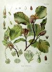"Rot-Buche - Fagus sylvatica; Bildquelle: <a href=""https://www.pflanzen-deutschland.de/quellen.php?bild_quelle=Köhlers Medizinal-Pflanzen in naturgetreuen Abbildungen mit kurz erläuterndem Texte. Band 1. 1887"">Köhlers Medizinal-Pflanzen in naturgetreuen Abbildungen mit kurz erläuterndem Texte. Band 1. 1887</a>; Bildlizenz: <a href=""https://creativecommons.org/licenses/publicdomain/deed.de"" target=_blank title=""Public Domain"">Public Domain</a>;"