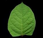 """Japanischer Staudenknöterich - Fallopia japonica; Bildquelle: <a href=""""https://www.pflanzen-deutschland.de/quellen.php?bild_quelle=Wikipedia User Ies"""">Wikipedia User Ies</a>; Bildlizenz: <a href=""""https://creativecommons.org/licenses/by-sa/3.0/deed.de"""" target=_blank title=""""Namensnennung - Weitergabe unter gleichen Bedingungen 3.0 Unported (CC BY-SA 3.0)"""">CC BY-SA 3.0</a>; <br>Wiki Commons Bildbeschreibung: <a href=""""https://commons.wikimedia.org/wiki/File:Fallopia_japonica_ies.jpg"""" target=_blank title=""""https://commons.wikimedia.org/wiki/File:Fallopia_japonica_ies.jpg"""">https://commons.wikimedia.org/wiki/File:Fallopia_japonica_ies.jpg</a>"""