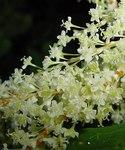 """Japanischer Staudenknöterich - Fallopia japonica; Bildquelle: <a href=""""https://www.pflanzen-deutschland.de/quellen.php?bild_quelle=Leo Michels, Untereisesheim"""">Leo Michels, Untereisesheim</a>; Bildlizenz: <a href=""""https://creativecommons.org/licenses/by-sa/3.0/deed.de"""" target=_blank title=""""Namensnennung - Weitergabe unter gleichen Bedingungen 3.0 Unported (CC BY-SA 3.0)"""">CC BY-SA 3.0</a>;"""