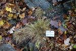 """Kleiner Schaf-Schwingel - Festuca airoides; Bildquelle: <a href=""""https://www.pflanzen-deutschland.de/quellen.php?bild_quelle=Wikipedia User Daderot"""">Wikipedia User Daderot</a>; Bildlizenz: <a href=""""https://creativecommons.org/licenses/by-sa/3.0/deed.de"""" target=_blank title=""""Namensnennung - Weitergabe unter gleichen Bedingungen 3.0 Unported (CC BY-SA 3.0)"""">CC BY-SA 3.0</a>; <br>Wiki Commons Bildbeschreibung: <a href=""""https://commons.wikimedia.org/wiki/File:Festuca_airoides_-_Botanischer_Garten,_Dresden,_Germany_-_DSC08679.JPG"""" target=_blank title=""""https://commons.wikimedia.org/wiki/File:Festuca_airoides_-_Botanischer_Garten,_Dresden,_Germany_-_DSC08679.JPG"""">https://commons.wikimedia.org/wiki/File:Festuca_airoides_-_Botanischer_Garten,_Dresden,_Germany_-_DSC08679.JPG</a>"""