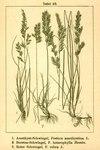 """Verschiedenblättriger Schwingel - Festuca heterophylla; Bildquelle: <a href=""""https://www.pflanzen-deutschland.de/quellen.php?bild_quelle=Deutschlands Flora in Abbildungen, Johann Georg Sturm 1796"""">Deutschlands Flora in Abbildungen, Johann Georg Sturm 1796</a>; Bildlizenz: <a href=""""https://creativecommons.org/licenses/publicdomain/deed.de"""" target=_blank title=""""Public Domain"""">Public Domain</a>;"""