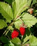 """Wald-Erdbeere - Fragaria vesca; Bildquelle: © <a href=""""https://www.pflanzen-deutschland.de/quellen.php?bild_quelle=Bönisch 2009"""">Bönisch 2009</a> - <b>All rights reserved</b>"""