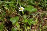 """Wald-Erdbeere - Fragaria vesca; Bildquelle: © <a href=""""https://www.pflanzen-deutschland.de/quellen.php?bild_quelle=Fabian Löffelmann,  Vielen Dank"""">Fabian Löffelmann,  Vielen Dank</a> - <b>All rights reserved</b>"""