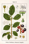 "Faulbaum - Frangula alnus; Bildquelle: <a href=""https://www.pflanzen-deutschland.de/quellen.php?bild_quelle=Wikipedia User Chris.urs-o"">Wikipedia User Chris.urs-o</a>; Bildlizenz: <a href=""https://creativecommons.org/licenses/by-sa/3.0/deed.de"" target=_blank title=""Namensnennung - Weitergabe unter gleichen Bedingungen 3.0 Unported (CC BY-SA 3.0)"">CC BY-SA 3.0</a>; <br>Wiki Commons Bildbeschreibung: <a href=""https://commons.wikimedia.org/wiki/File:Frangula_alnus_Sturm07025.jpg"" target=_blank title=""https://commons.wikimedia.org/wiki/File:Frangula_alnus_Sturm07025.jpg"">https://commons.wikimedia.org/wiki/File:Frangula_alnus_Sturm07025.jpg</a>"