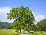 "Gewöhnliche Esche - Fraxinus excelsior; Bildquelle: <a href=""https://www.pflanzen-deutschland.de/quellen.php?bild_quelle=Wikipedia User Willow"">Wikipedia User Willow</a>; Bildlizenz: <a href=""https://creativecommons.org/licenses/by-sa/3.0/deed.de"" target=_blank title=""Namensnennung - Weitergabe unter gleichen Bedingungen 3.0 Unported (CC BY-SA 3.0)"">CC BY-SA 3.0</a>;"