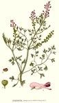 """Gemeiner Erdrauch - Fumaria officinalis; Bildquelle: <a href=""""https://www.pflanzen-deutschland.de/quellen.php?bild_quelle=Carl Axel Magnus Lindman Bilder ur Nordens Flora 1901-1905"""">Carl Axel Magnus Lindman Bilder ur Nordens Flora 1901-1905</a>; Bildlizenz: <a href=""""https://creativecommons.org/licenses/publicdomain/deed.de"""" target=_blank title=""""Public Domain"""">Public Domain</a>;"""