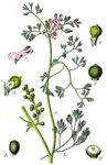 """Kleinblütiger Erdrauch - Fumaria parviflora; Bildquelle: <a href=""""https://www.pflanzen-deutschland.de/quellen.php?bild_quelle=Wikipedia User Finavon"""">Wikipedia User Finavon</a>; Bildlizenz: <a href=""""https://creativecommons.org/licenses/by-sa/3.0/deed.de"""" target=_blank title=""""Namensnennung - Weitergabe unter gleichen Bedingungen 3.0 Unported (CC BY-SA 3.0)"""">CC BY-SA 3.0</a>;"""