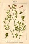 """Blasser Erdrauch - Fumaria vaillantii; Bildquelle: <a href=""""https://www.pflanzen-deutschland.de/quellen.php?bild_quelle=Deutschlands Flora in Abbildungen 1796"""">Deutschlands Flora in Abbildungen 1796</a>; Bildlizenz: <a href=""""https://creativecommons.org/licenses/publicdomain/deed.de"""" target=_blank title=""""Public Domain"""">Public Domain</a>;"""