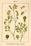 "Blasser Erdrauch - Fumaria vaillantii; Bildquelle: <a href=""https://www.pflanzen-deutschland.de/quellen.php?bild_quelle=Deutschlands Flora in Abbildungen, Johann Georg Sturm 1796"">Deutschlands Flora in Abbildungen, Johann Georg Sturm 1796</a>; Bildlizenz: <a href=""https://creativecommons.org/licenses/publicdomain/deed.de"" target=_blank title=""Public Domain"">Public Domain</a>;"