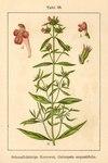 """Schmalblättriger Hohlzahn - Galeopsis angustifolia; Bildquelle: <a href=""""https://www.pflanzen-deutschland.de/quellen.php?bild_quelle=Deutschlands Flora in Abbildungen 1796"""">Deutschlands Flora in Abbildungen 1796</a>; Bildlizenz: <a href=""""https://creativecommons.org/licenses/publicdomain/deed.de"""" target=_blank title=""""Public Domain"""">Public Domain</a>;"""