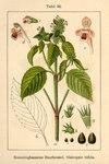 """Zweispaltiger Hohlzahn - Galeopsis bifida; Bildquelle: <a href=""""https://www.pflanzen-deutschland.de/quellen.php?bild_quelle=Deutschlands Flora in Abbildungen 1796"""">Deutschlands Flora in Abbildungen 1796</a>; Bildlizenz: <a href=""""https://creativecommons.org/licenses/publicdomain/deed.de"""" target=_blank title=""""Public Domain"""">Public Domain</a>;"""