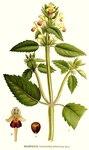"""Bunter Hohlzahn - Galeopsis speciosa; Bildquelle: <a href=""""https://www.pflanzen-deutschland.de/quellen.php?bild_quelle=Carl Axel Magnus Lindman Bilder ur Nordens Flora 1901-1905"""">Carl Axel Magnus Lindman Bilder ur Nordens Flora 1901-1905</a>; Bildlizenz: <a href=""""https://creativecommons.org/licenses/publicdomain/deed.de"""" target=_blank title=""""Public Domain"""">Public Domain</a>;"""