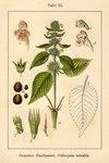 """Gewöhnlicher Hohlzahn - Galeopsis tetrahit; Bildquelle: <a href=""""http://www.pflanzen-deutschland.de/quellen.php?bild_quelle=Deutschlands Flora in Abbildungen 1796"""">Deutschlands Flora in Abbildungen 1796</a>; Bildlizenz: <a href=""""https://creativecommons.org/licenses/publicdomain/deed.de"""" target=_blank title=""""Public Domain"""">Public Domain</a>;"""
