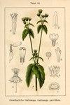 """Kleinblütiges Franzosenkraut - Galinsoga parviflora; Bildquelle: <a href=""""https://www.pflanzen-deutschland.de/quellen.php?bild_quelle=Deutschlands Flora in Abbildungen, Johann Georg Sturm 1796"""">Deutschlands Flora in Abbildungen, Johann Georg Sturm 1796</a>; Bildlizenz: <a href=""""https://creativecommons.org/licenses/publicdomain/deed.de"""" target=_blank title=""""Public Domain"""">Public Domain</a>;"""