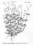 """Rundblättriges Labkraut - Galium rotundifolium; Bildquelle: <a href=""""https://www.pflanzen-deutschland.de/quellen.php?bild_quelle=Friedrich Oltmanns Pflanzenleben des Schwarzwaldes Tafeln 1927"""">Friedrich Oltmanns Pflanzenleben des Schwarzwaldes Tafeln 1927</a>; Bildlizenz: <a href=""""https://creativecommons.org/licenses/publicdomain/deed.de"""" target=_blank title=""""Public Domain"""">Public Domain</a>;"""