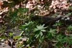 """Gewöhnliches Wald-Labkraut - Galium sylvaticum; Bildquelle: <a href=""""https://www.pflanzen-deutschland.de/quellen.php?bild_quelle=Wikipedia User File Upload Bot Magnus Manske"""">Wikipedia User File Upload Bot Magnus Manske</a>; Bildlizenz: <a href=""""https://creativecommons.org/licenses/by-sa/2.0/deed.de"""" target=_blank title=""""Namensnennung - Weitergabe unter gleichen Bedingungen 2.0 Unported (CC BY-SA 2.0)"""">CC BY 2.0</a>; <br>Wiki Commons Bildbeschreibung: <a href=""""https://commons.wikimedia.org/wiki/File:Galium_sylvaticum_(8252167904).jpg"""" target=_blank title=""""https://commons.wikimedia.org/wiki/File:Galium_sylvaticum_(8252167904).jpg"""">https://commons.wikimedia.org/wiki/File:Galium_sylvaticum_(8252167904).jpg</a>"""