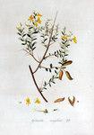 """Englischer Ginster - Genista anglica; Bildquelle: <a href=""""https://www.pflanzen-deutschland.de/quellen.php?bild_quelle=Jan Kops, Flora Batava, Volume 2 1807"""">Jan Kops, Flora Batava, Volume 2 1807</a>; Bildlizenz: <a href=""""https://creativecommons.org/licenses/by-sa/3.0/deed.de"""" target=_blank title=""""Namensnennung - Weitergabe unter gleichen Bedingungen 3.0 Unported (CC BY-SA 3.0)"""">CC BY-SA 3.0</a>;"""