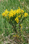 "Deutscher Ginster - Genista germanica; Bildquelle: <a href=""https://www.pflanzen-deutschland.de/quellen.php?bild_quelle=Wikipedia User Tigerente"">Wikipedia User Tigerente</a>; Bildlizenz: <a href=""https://creativecommons.org/licenses/by-sa/3.0/deed.de"" target=_blank title=""Namensnennung - Weitergabe unter gleichen Bedingungen 3.0 Unported (CC BY-SA 3.0)"">CC BY-SA 3.0</a>; <br>Wiki Commons Bildbeschreibung: <a href=""https://commons.wikimedia.org/wiki/File:Genista_germanica20080528.jpg"" target=_blank title=""https://commons.wikimedia.org/wiki/File:Genista_germanica20080528.jpg"">https://commons.wikimedia.org/wiki/File:Genista_germanica20080528.jpg</a>"