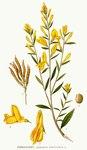 """Färber-Ginster - Genista tinctoria; Bildquelle: <a href=""""https://www.pflanzen-deutschland.de/quellen.php?bild_quelle=Carl Axel Magnus Lindman Bilder ur Nordens Flora 1901-1905"""">Carl Axel Magnus Lindman Bilder ur Nordens Flora 1901-1905</a>; Bildlizenz: <a href=""""https://creativecommons.org/licenses/publicdomain/deed.de"""" target=_blank title=""""Public Domain"""">Public Domain</a>;"""