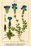 """Bayerischer Enzian - Gentiana bavarica; Bildquelle: <a href=""""https://www.pflanzen-deutschland.de/quellen.php?bild_quelle=Deutschlands Flora in Abbildungen 1796"""">Deutschlands Flora in Abbildungen 1796</a>; Bildlizenz: <a href=""""https://creativecommons.org/licenses/publicdomain/deed.de"""" target=_blank title=""""Public Domain"""">Public Domain</a>;"""